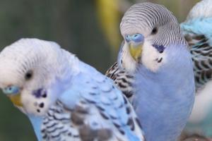 у попугая сел голос