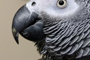 у попугая учащенное дыхание ночью