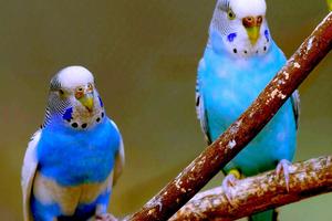 у попугая учащенное дыхание причины