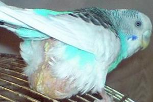 у волнистого попугая вылезла клоака