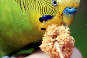 волнистый попугай не ест фрукты
