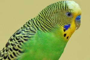 волнистый попугай перестал чирикать