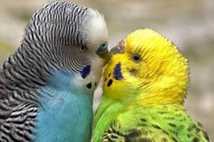 волнистый попугай сорвал голос