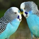 Когда у волнистых попугаев начинается брачный период?