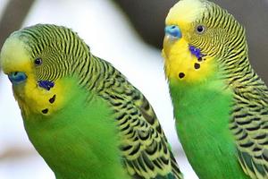 брачный сезон у волнистых попугаев