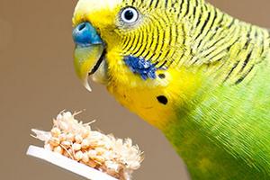 на голове шишка у попугая