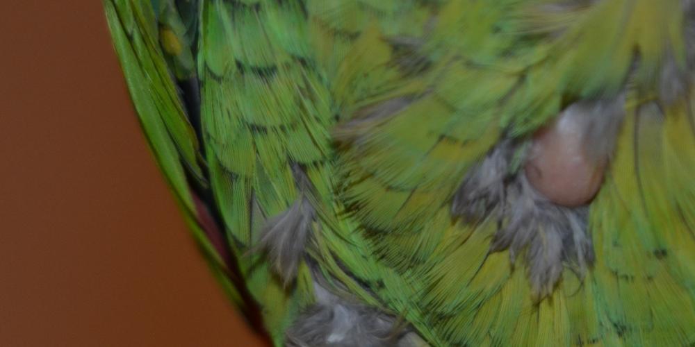 опухоль на груди у попугая
