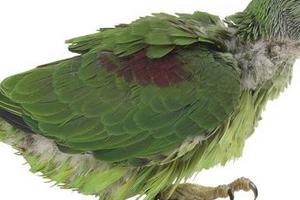 опухоль на спине у попугая
