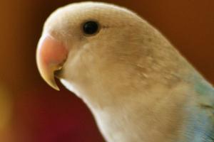 у попугая не дышит нос лечение