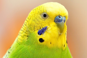 шишка на спине у попугая лечение