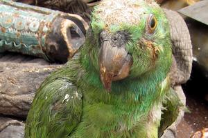 у попугая блохи симптомы