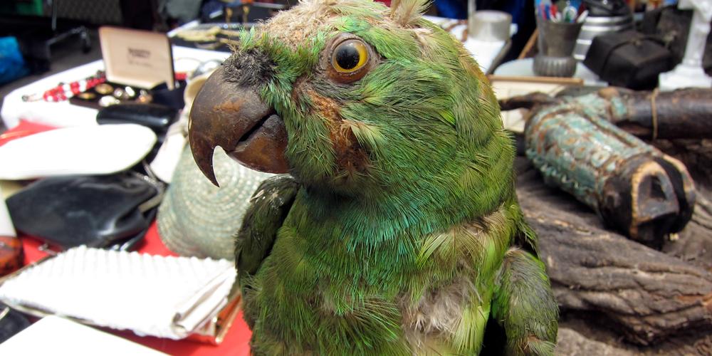 у попугая блохи