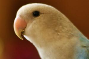 у попугая на голове шишка причины