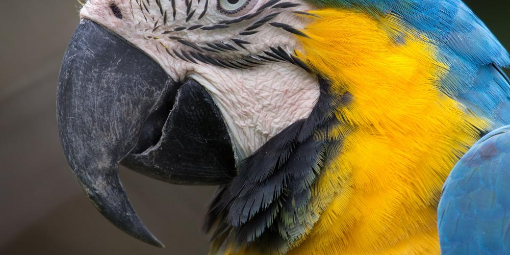 у попугая на голове шишка