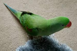 у попугая завелись блохи