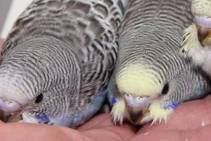 у волнистого попугая блохи