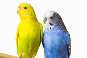 у волнистых попугаев брачный период