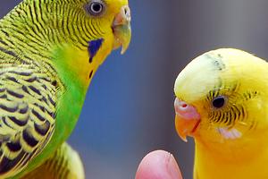 у волнистых попугаев брачный сезон