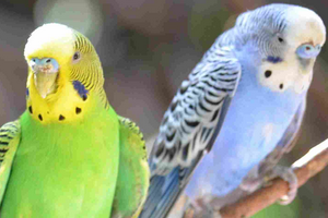 волнистый попугай не держит голову