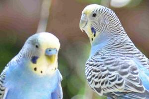 взрослый попугай не держит голову