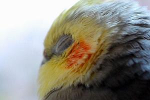 болезн печени у попугая