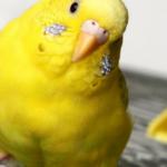 Болезни печени у попугая — симптомы указывающие на проблемы с органом?
