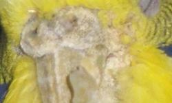 дерматит у попугая признаки