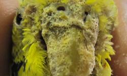 дерматит у попугая симптомы