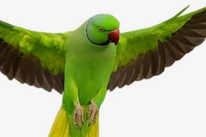 дрожат крылья у попугая