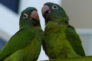 хрипы у попугая без видимых причин