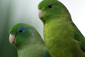 хрипы у попугая при дыхании