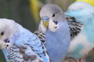 хрипы у волнистого попугая