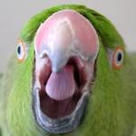 Как лечат испуг у попугаев?
