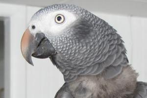 истощение у попугая признаки
