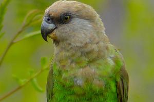 клюв коричневый у попугая