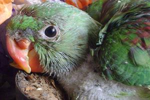 кривой клюв у молодого попугая