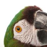 Что делать, если у попугая начал искривляться клюв?