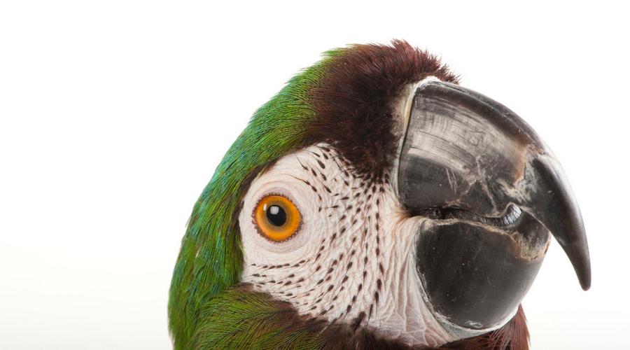 кривой клюв у попугая