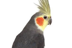 не переваренное зерно в помете попугая