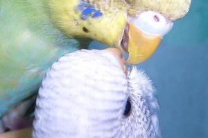 неприятный запах из клюва у попугайчика
