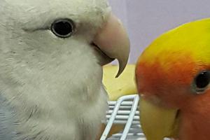 опухла левая ноздря у попугая