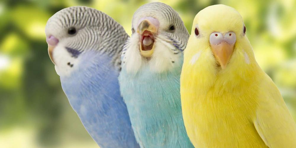 опухла ноздря у попугая