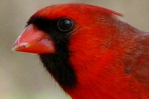 опухла правая ноздря у попугая