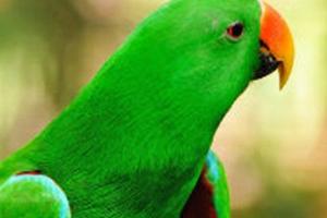 ожереловый попугай уход