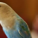 Какие симптомы простуды у попугаев?