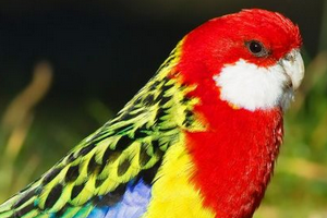 попугайчик розелла