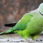 Сложно ли содержать ожереловых попугаев?