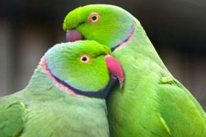 попугай ожереловый выращивание