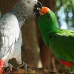 Что может указать на беременность попугая?