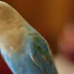 Откуда у попугая может взяться птичий грипп?